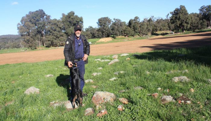Wooroloo Prison Farm manager Dave Traylen with sheep dog Flick shows the stark contrast between rocky uncroppable land and the smooth, crushed conglomerate coffee rock soil already germinating a Mammoth oats hay crop.